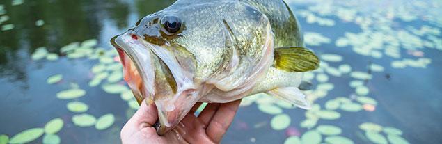 A closeup of a caught bass.
